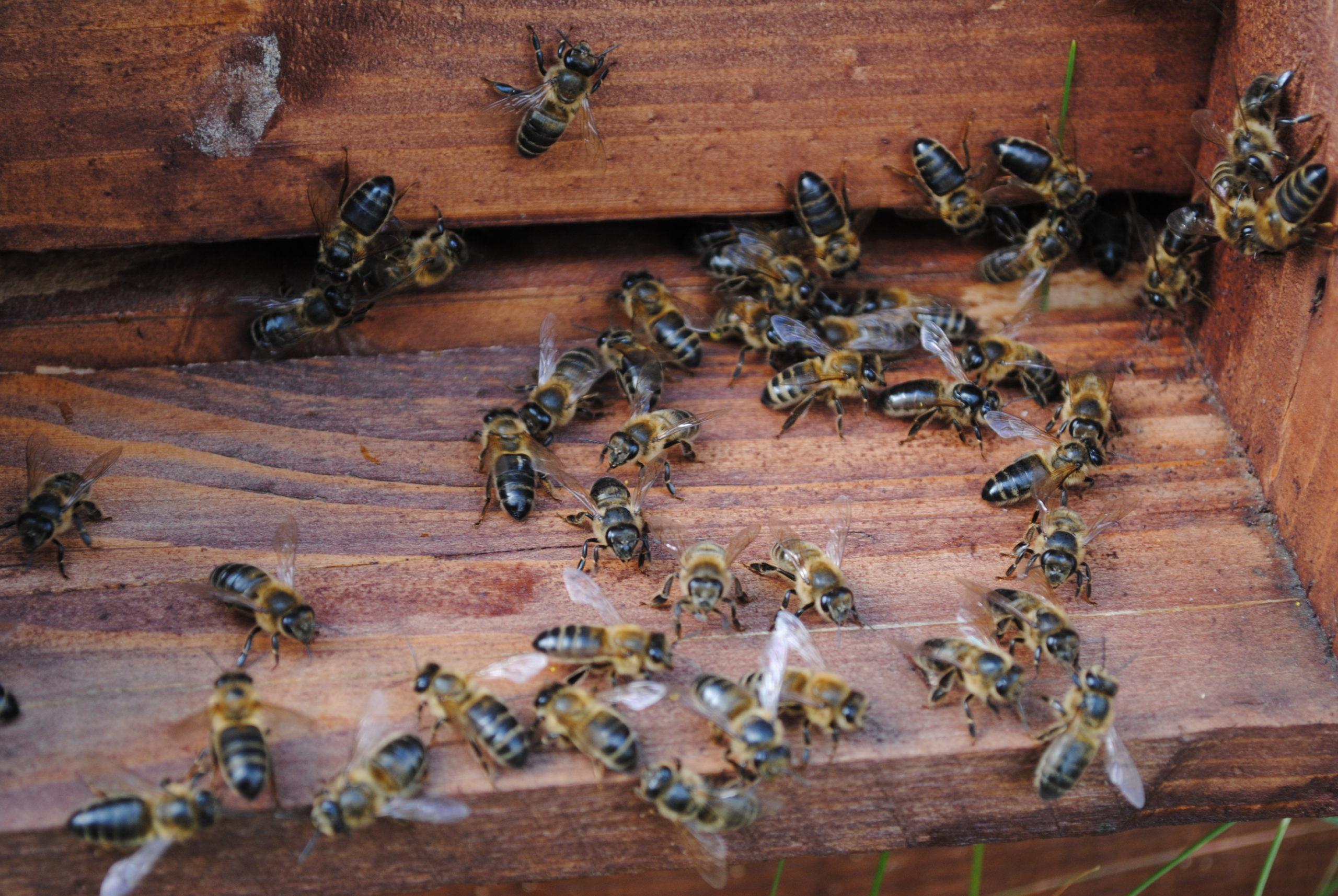 Pszczoły Augustowska Miodosytnia